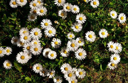 daisy meadow flower