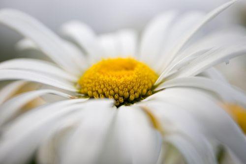 daisy flowers chamomile