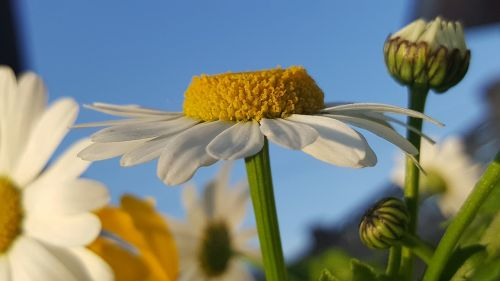 daisy margaritas verano
