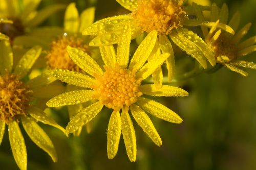 daisy yellow flower