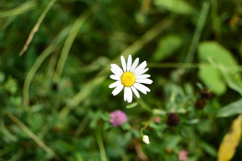daisy flowers white flowers