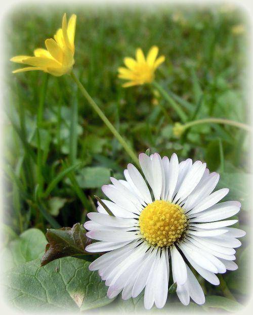 daisy nature flower