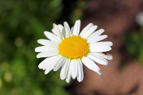 daisy leucanthemum flower