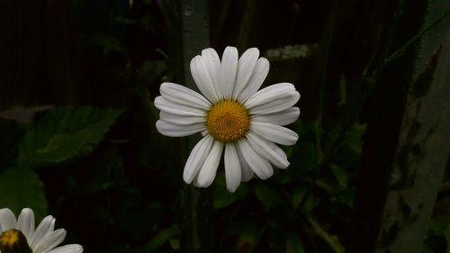 daisy white yellow