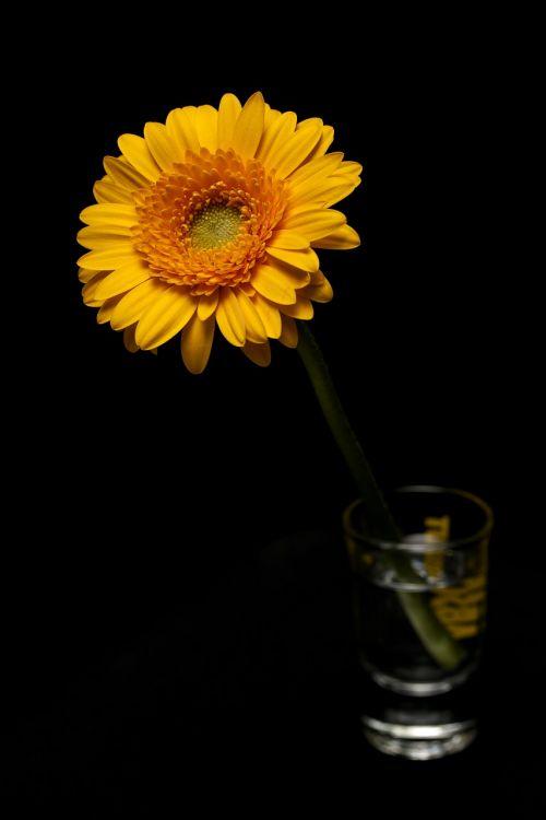 daisy yellow leaves