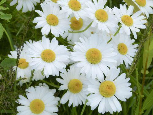 daisy bunch flowers