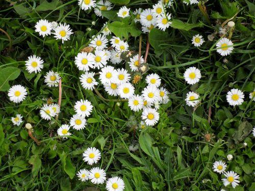 daisy meadow rush