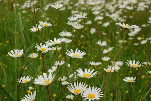daisy margaritas flowers