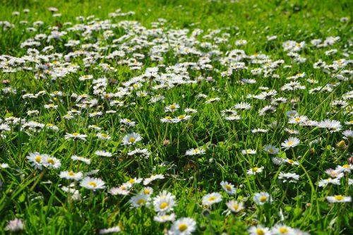 daisy rush meadow
