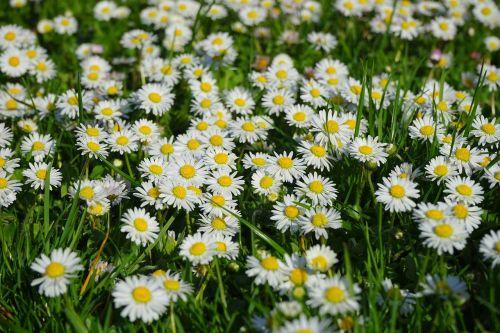 daisy flower carpet white
