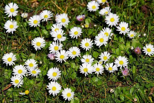 daisy bellis tausendschön