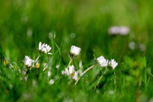 daisy  bellis  multiannual daisy