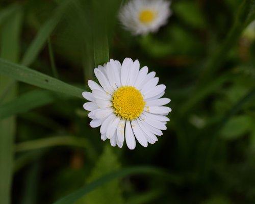 daisy  bellis philosophy  blossom