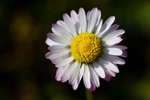 Daisy, mažas, baltos spalvos, gėlė, žiedas, žydi, geltona, žiedadulkės, Iš arti, pavasaris, žiedlapiai, fonas