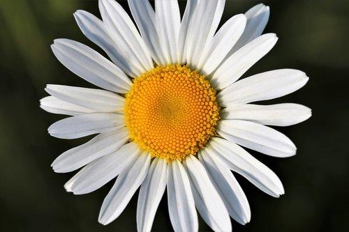 daisy  leucanthemum vulgare  macro