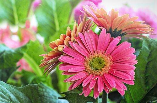 daisy  pink  green