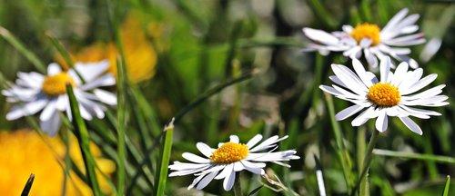 daisy  meadow  flower meadow