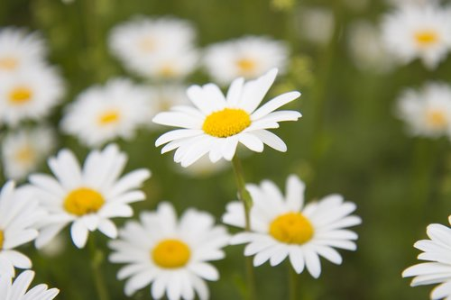 daisy  meadow meadow  summer