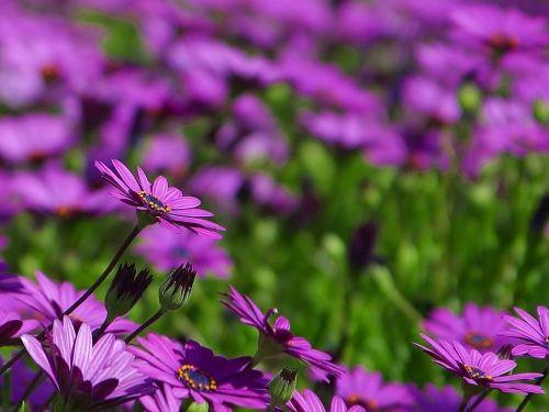 Daisy,pieva,gėlė,gamta,flora,gražus,spalva,žydėti,žiedas,žydėti,augalas,gėlės