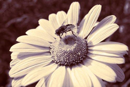 daisy  ox-eye daisy  flower