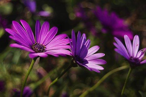 daisy  purple daisy  violet