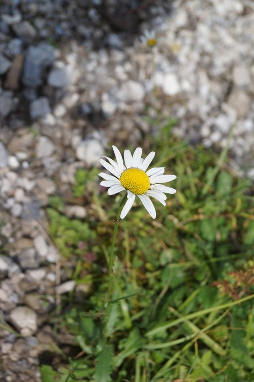 daisy  flower  bellis philosophy