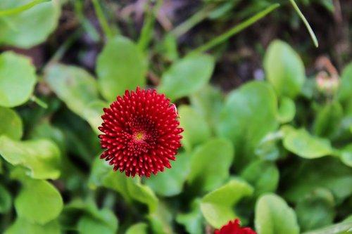 daisy  red daisy  pink daisy