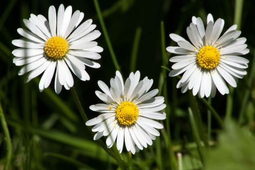 meadow daisy bellis philosophy