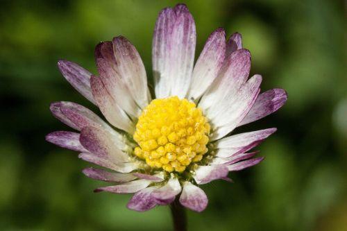 daisy blossom bellis philosophy