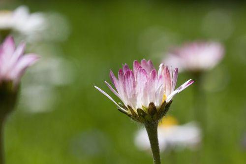 meadow daisy blossom