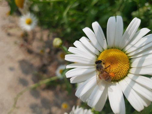 daisy  flowers  ox-eye daisy