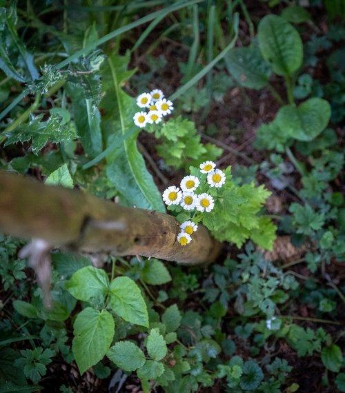 daisy  daisies  nature