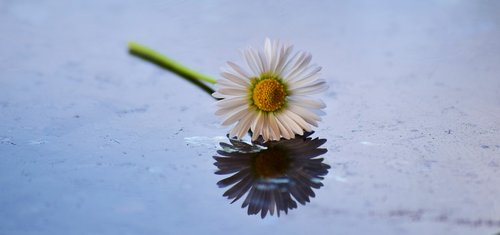 daisy  flower  bloom