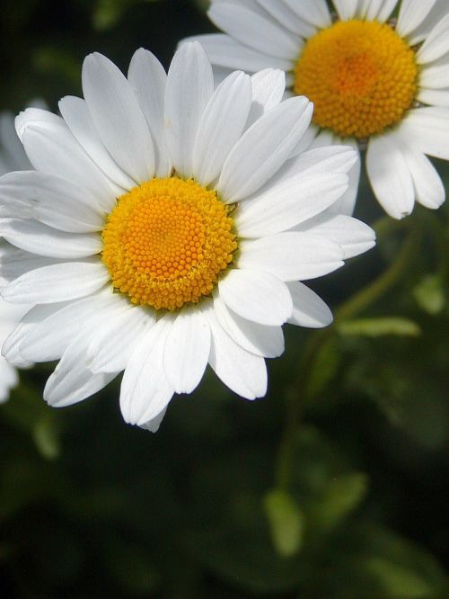 daisy spring yellow