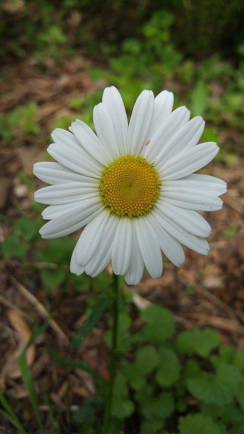 daisy  flower  nature