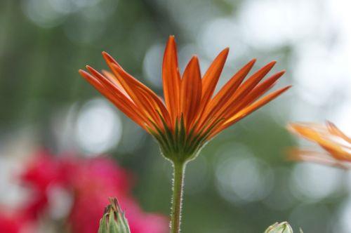 daisy african daisy flower