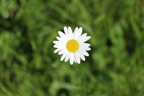 daisy marguerite meadows margerite