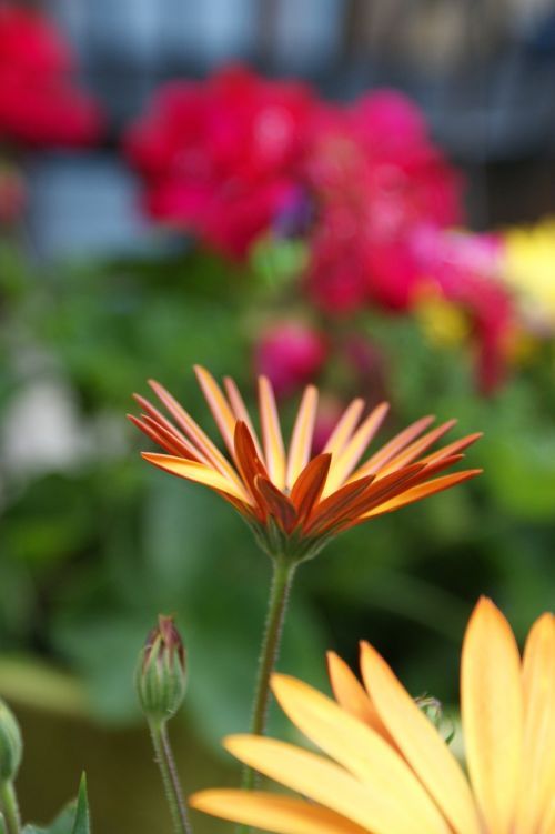 daisy orange colorful
