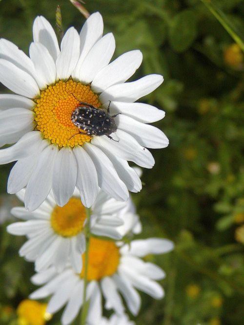 daisy detail spring