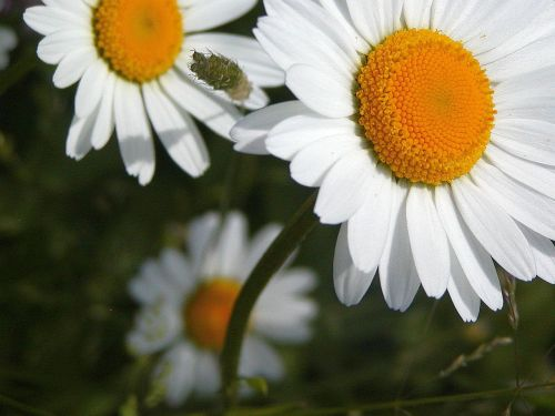 daisy white yellow