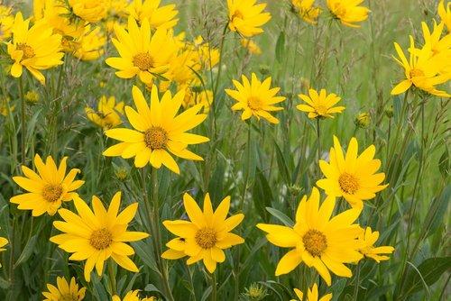 daisy  bush  daisies