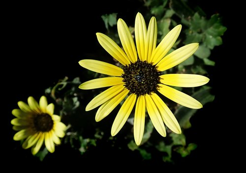 daisy  cape weed  garden