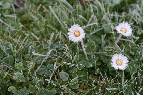 daisy ice meadow