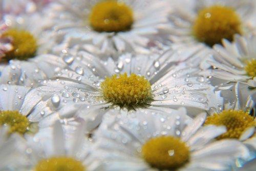 daisy  drop of water  meadow