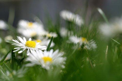 daisy  little daisy  marguerite