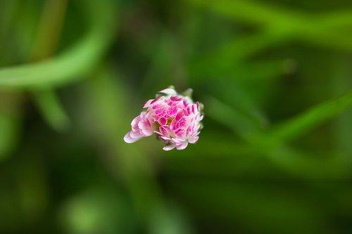 daisy  bud  closed