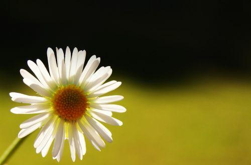 daisy light stamen