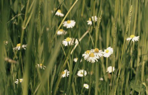 daisy meadow flowers