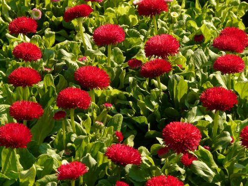 daisy red flower