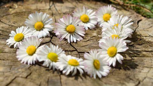 daisy heart flowers